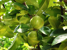Load image into Gallery viewer, Chulta Tree 50 Seeds Dillenia Indica #Tree