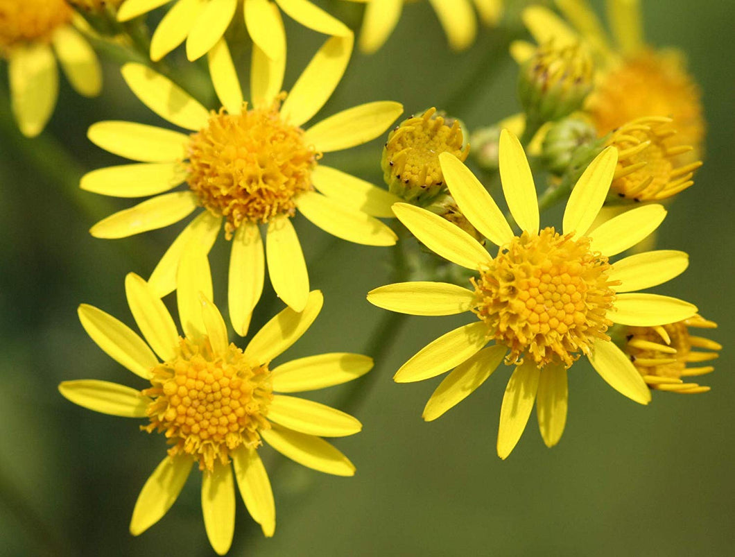 100 Seeds Yellow Flowering Ground Cover - Senecio hollermayeri #Ornamental