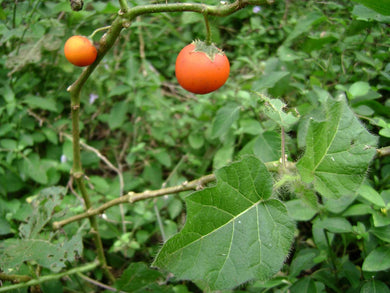 10 Seeds Solanum sessiliflorum Cocona Fruit Plant #Fruit