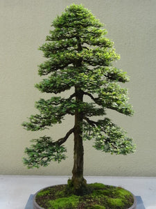 15 Seeds Sequoia Sempervirens (Sequoia Coast Redwood Tree) Bonsai #Ornamental