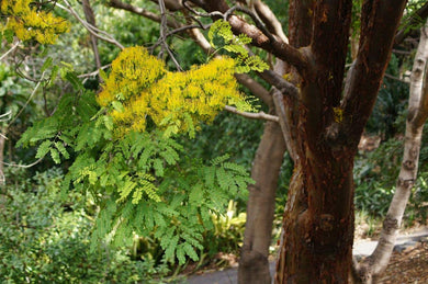 10Seeds Delonix floribunda Tree Yellow Flowering #Tree