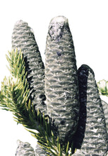Load image into Gallery viewer, Abies Balsamea (Balsam Fir) Pine Tree 25 Seeds #Tree