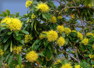 50 Seeds Golden Penda Tree - Xanthostemon chrysanthus #Ornamental