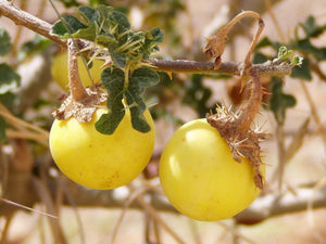 10 Seeds Solanum sp. (Tuwayo) Fruit Plant #Fruit