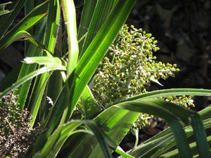 100 Seeds Tropical Flowering Plant - Astelia neocaledonica