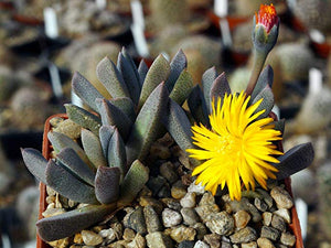 50 Seeds Aloinopsis orpenii - Dwarf Yellow Flowering Plant #Succulent