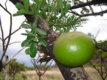Load image into Gallery viewer, Crescentia alata Jicaro Sweet Fruit Tree 15 Seeds #Fruit