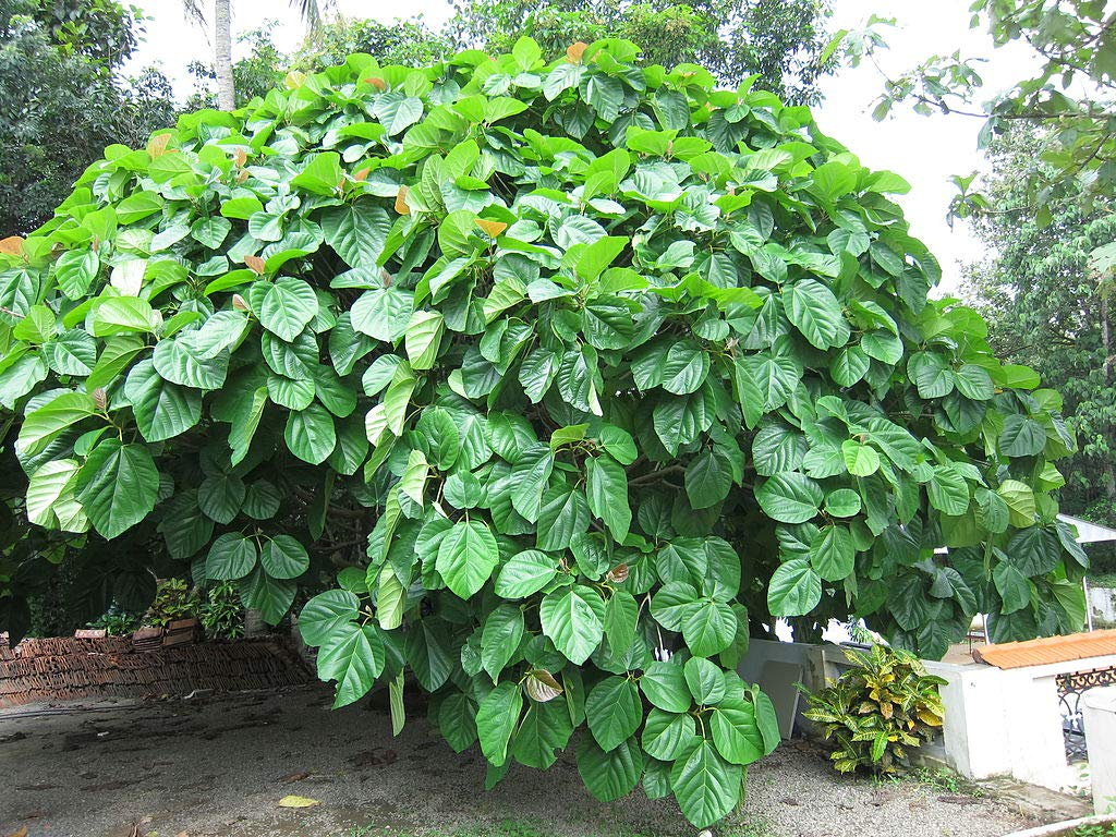 Ficus Auriculata Roxburgh Fig Tree 50 Seeds #House Plant