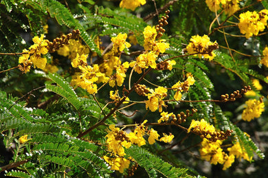 10 Seeds Copperpod - Golden Flamboyant Tree - Peltophorum pterocarpum #Tree