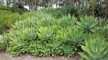 Load image into Gallery viewer, Agave attenuata Fox Tail Agave Ornamental Plant 15 Seeds #Agave