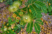 Load image into Gallery viewer, Albizia Lebbeck Woman's-tongue Tree 15 Seeds #Tree
