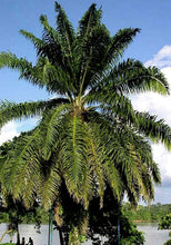 Load image into Gallery viewer, Elaeis guineensis African Oil Palm 10 Seeds #Ornamental