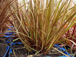50 Seeds Carex flagellifera - Red Glen Murray Tussock Grass #Ornamental