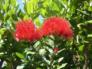 Metrosideros excelsa New Zealand Christmas Tree Pohutukawa 100 Seeds #Ornamental
