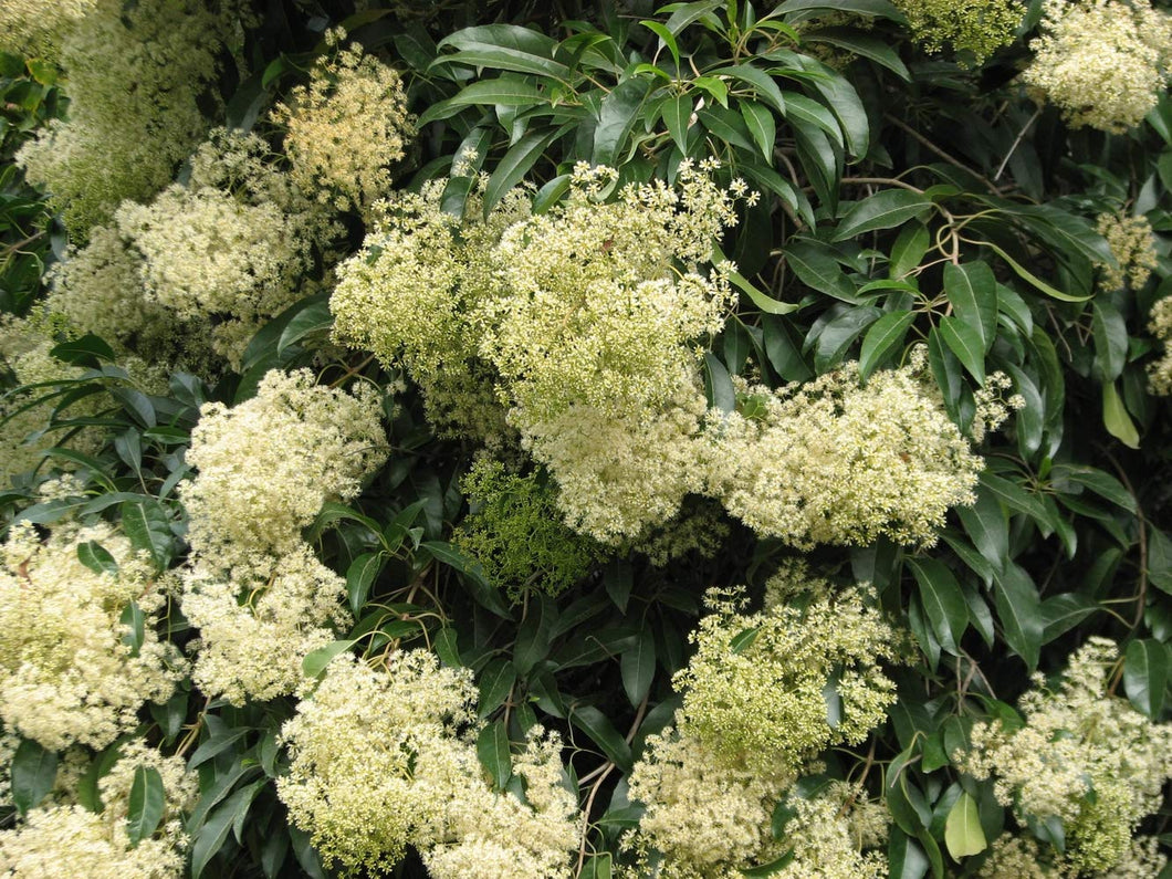 100 Seeds Forest Elder Shrub - Nuxia floribunda