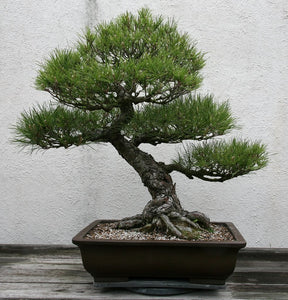 Pinus Thunbergii (Japanese Black Pine) Bonsia 15 Seeds #Tree
