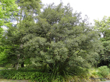 Load image into Gallery viewer, Nothofagus cunninghamii Myrtle Beech Tree 50 Seeds #Tree