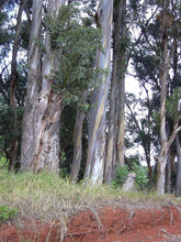 Load image into Gallery viewer, Eucalyptus globulus Tasmanian Blue Gum Tree 50 Seeds #Eucalyptus