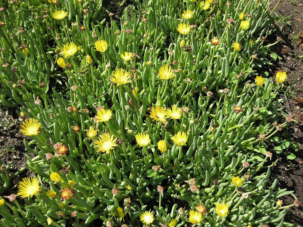 100 Seeds Yellow Flowering Dwarf Succulant - Cheiridopsis namaquensis