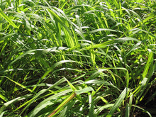 Load image into Gallery viewer, Cymbopogon winterianus Citronella Grass 100 Seeds #Ornamental