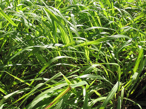 Cymbopogon winterianus Citronella Grass 100 Seeds #Ornamental