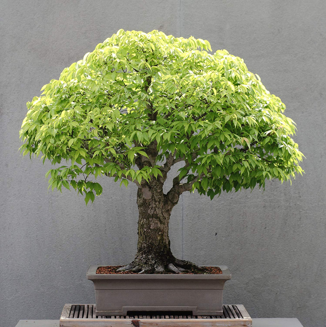 15 Seeds Zelkova Serrata (Japanese Zelkova) Bonsai #Ornamental
