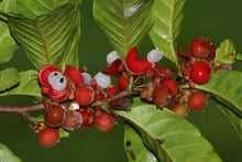 Load image into Gallery viewer, Doliocarpus Major 10 Seeds Red Fruiting Vine #Fruit