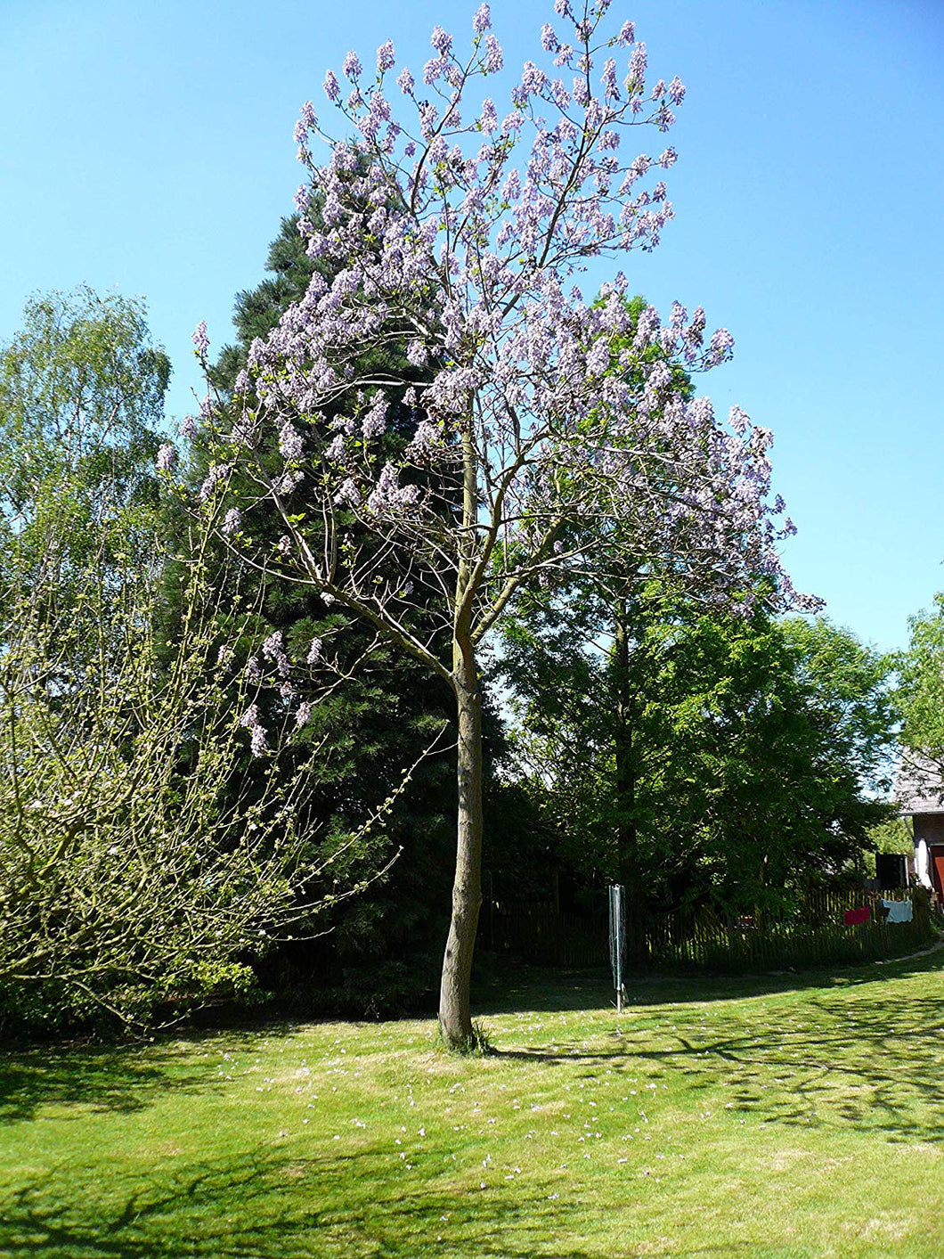 50 Seeds Pink Flowering Ornamental Tree - Paulownia elongata