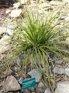 Nolina lindheimeriana Devil's Shoestring Ribbon Grass 10 Seeds #Ornamental