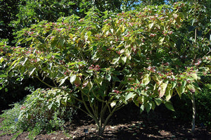 Clerodendrum trichotomum Harlequin Glorybower 15 Seeds #Tree