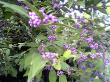 Load image into Gallery viewer, Callicarpa Japonica - Japanese Beautyberry Tree (SEEDS) #Fruit