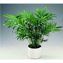 Load image into Gallery viewer, Chamaedorea Elegans (Palour Palm) 25 Seeds Air Purification #House Plant
