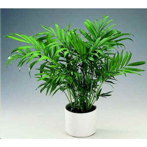 Chamaedorea Elegans (Palour Palm) 25 Seeds Air Purification #House Plant