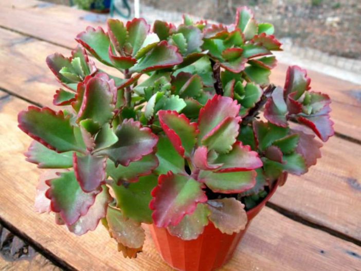 Kalanchoe sexangularis Red and Yellow Flowering Succulent 100 Seeds #Succulent