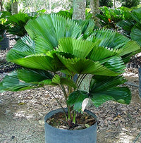 Load image into Gallery viewer, Licuala grandis Fan Palm 15 Seeds #House Plant