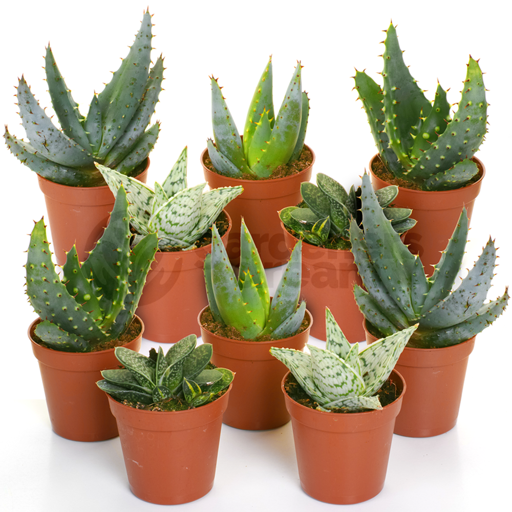 Aloe Vera Plant Seed Mix Air purification Plant's (SEEDS) #Succulent