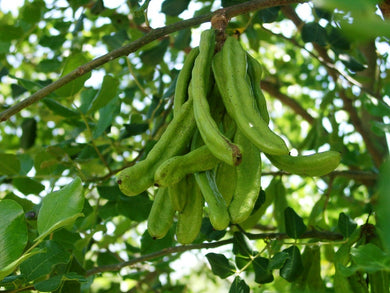 10 Seeds Ceratonia siliqua Carob Tree, St. John's Bread Yard #Tree