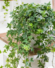 Load image into Gallery viewer, English Ivy Hedera Helix 25 Seeds Air Purification Plant #House Plant