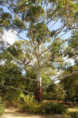 50 Seeds Flooded Gum Tree - Rose Gum Tree - Eucalyptus grandis #Tree
