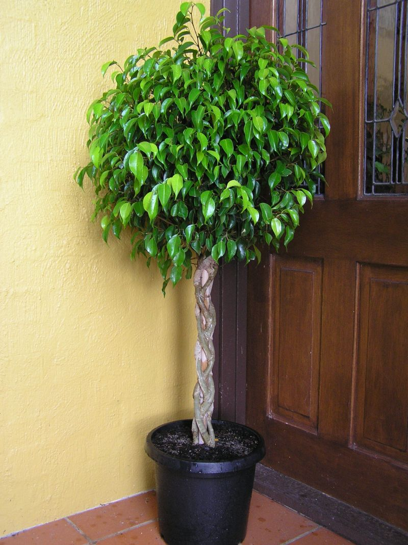 Ficus benjamina Weeping Fig Tree 50 Seeds #House Plant