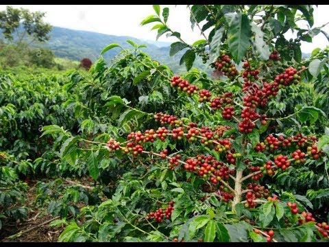 Coffea Arabica Nana Coffee House Plant 25 Seeds #Ornamental