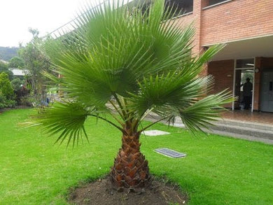 Washingtonia sp. 'Filibusta' Cold Hardy Palm 15 Seeds #House Plant