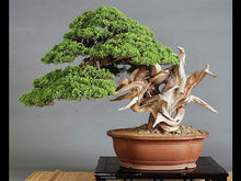 Load image into Gallery viewer, Juniperus Chinensis (Chinese Juniper) Bonsai 25 Seeds #Tree