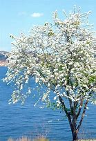 Bauhinia semla White Orchid Tree (SEEDS) #Ornamental