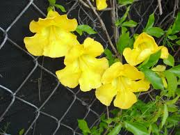 Dolichandra Unguis-Cati 10 Seeds Yellow Flowering Vine #Ornamental