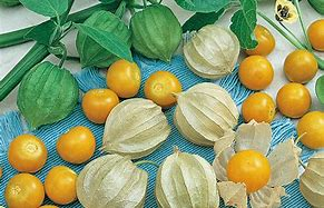Physalis pruinosa Ground Cherry Plant Strawberry Tomato 100 Seeds #Fruit