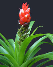 Load image into Gallery viewer, Guzmania monostachia Red Flowering Succulent 50 Seeds #Succulent