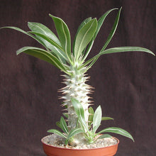Load image into Gallery viewer, Pachypodium horombense Plant 25 Seeds #Succulent
