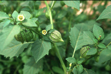 Load image into Gallery viewer, Physalis angulata Cutleaf Ground Cherry Shrub 50 Seeds #Fruit