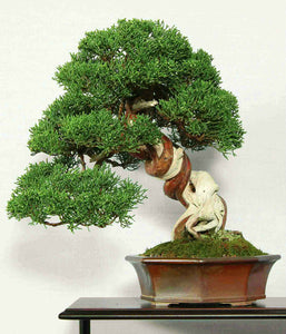 Juniperus Chinensis (Chinese Juniper) Bonsai 25 Seeds #Tree